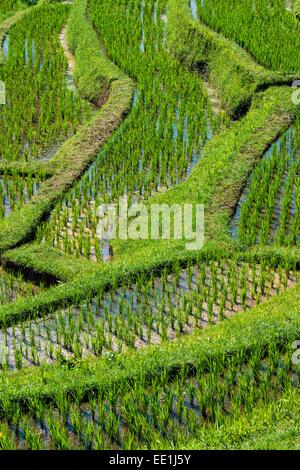Les rizières en terrasses de Jatiluwih, classé au Patrimoine Mondial de l'UNESCO, Bali, Indonésie, Asie du Sud, Banque D'Images