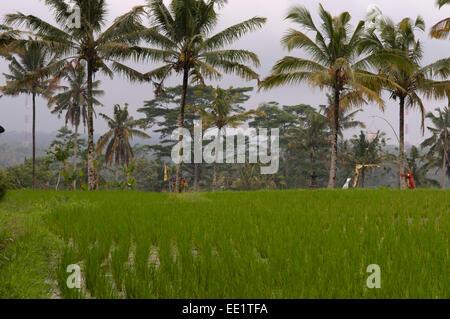 Champ de riz situé autour du temple de Gunung Kaki dans le centre de l'île, près de la ville de Bangli. Ubud. Bali. Banque D'Images