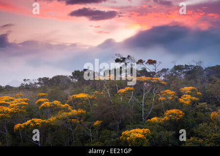 La floraison des arbres peut au coucher du soleil dans le parc national d'Altos de Campana, République du Panama.