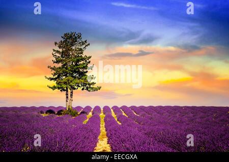 Champ de lavande en Provence, près de Sault, France Banque D'Images