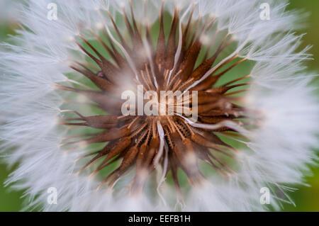 Gros plan extrême de fleur de pissenlit. Résumé fond macro printemps Banque D'Images