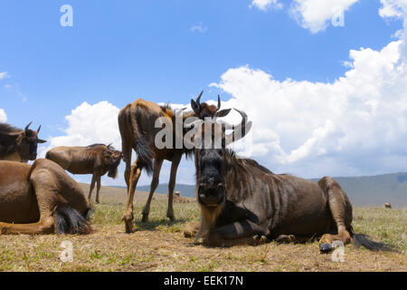 Le Gnou bleu (Connochaetes taurinus) couché sur la plaine dans le cratère, à partir de l'Ngorongor, Close up, Ngorongoro