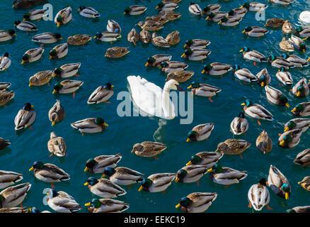 De grandes quantités de canards et cygnes. Un concept de 'l'intrus' Banque D'Images