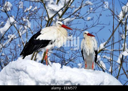 Cigognes blanches (Ciconia ciconia), couple standing on snowy nid, Suisse Banque D'Images