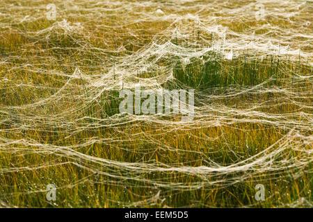 Araignées sur un pré, zone de marais, Basse-Saxe, Allemagne