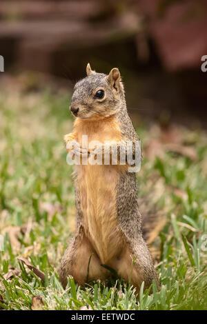 L'Est de l'Écureuil Renard debout à la très confiant, dans un jardin à Houston, Texas Banque D'Images