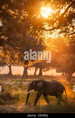 L'éléphant d'Afrique Banque D'Images