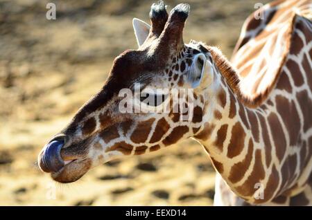 Girafe léché ses nez avec elle;s longue langue (usage éditorial uniquement) Banque D'Images