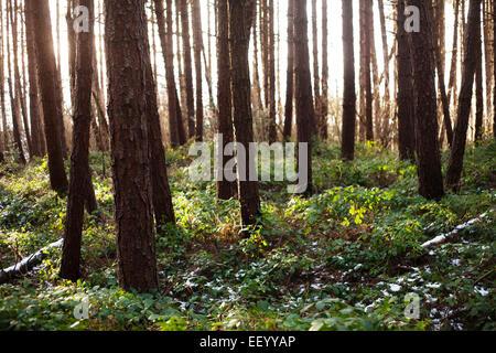 Soir du soleil brillant à travers une Commission forestière forêt de pins, dans le comté de Durham.