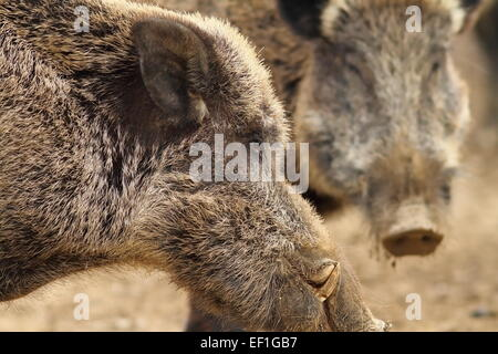 Close up d'un grand sanglier mâle avec de grandes défenses ( Sus scrofa ) Banque D'Images
