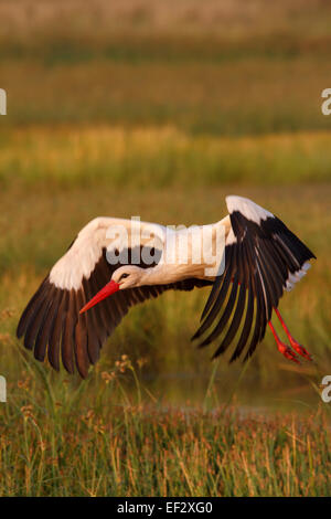 Cigogne Blanche (Ciconia ciconia) l'atterrissage. Banque D'Images