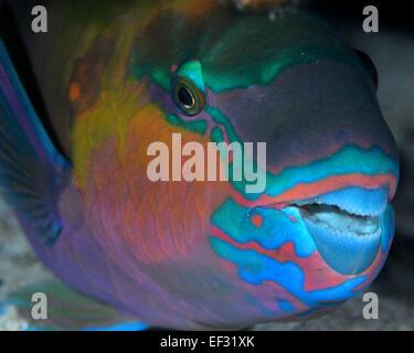 Rusty, perroquet Scarus ferrugineus, dormir, Eilat, Mer Rouge, Israël Banque D'Images