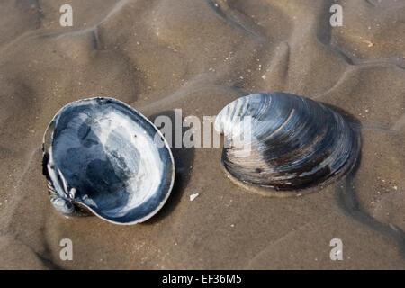 Quahog nordique, l'Islandais cyprine, acajou, palourdes, coques noires, Piepmuschel Islandmuschel, Arctica islandica, Cyprina islandica