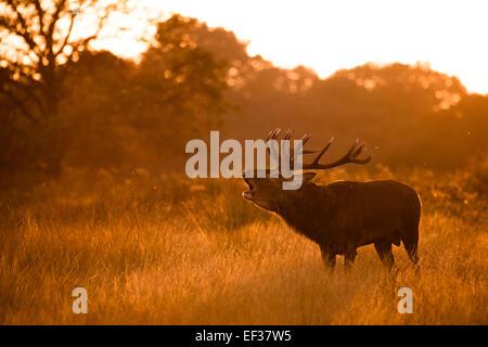 Beuglant Red Deer stag. Richmond Park, London, UK Banque D'Images