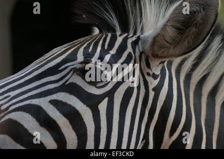 Faciale Zebra Close up Banque D'Images
