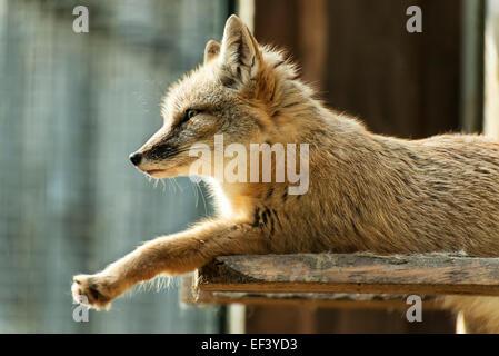 Droit à une séance de la Fox Banque D'Images