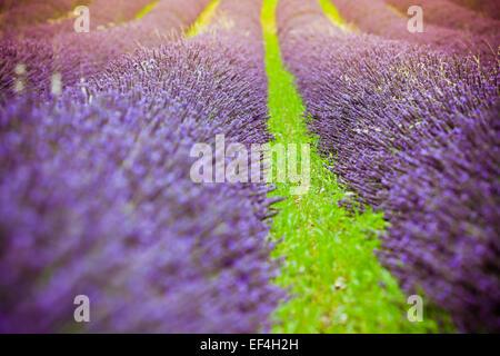 Coucher de soleil sur l'été un champ de lavande en Provence, France. Tourné avec un focus sélectif. Banque D'Images
