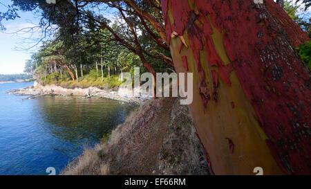 Madrona Arbre, Clark Island, San Juan Islands, Puget Sound, l'État de Washington Banque D'Images