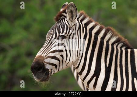Le zèbre de Grant, Equus quagga boehmi Banque D'Images