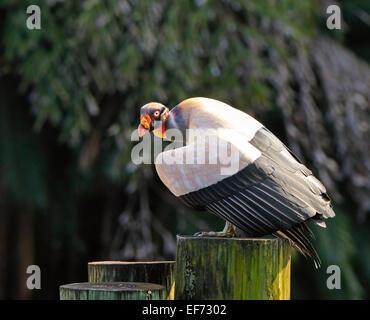King vulture, Sarcoramphus papa Banque D'Images