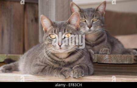 Deux mignon bleu tabby cats reposant sur le porche Banque D'Images