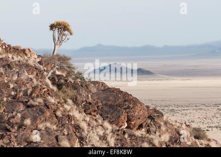 Quiver Tree solitaire sur un éperon rocheux surplombant le désert en Namibie, Afrique Banque D'Images