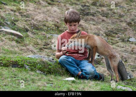 Boy feeding une renarde, Red Fox (Vulpes vulpes), Autriche Banque D'Images