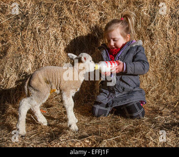 Southport, Burscough, Lancashire, Royaume-Uni. 3 Février, 2015. La saison d'agnelage au Moulin La Ferme des animaux. Banque D'Images
