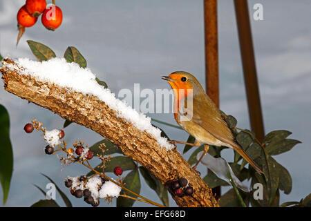 European Robin (Erithacus rubecula aux abords) perché dans l'environnement enneigé Banque D'Images