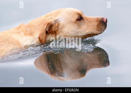 Golden retriever du Labrador nager dans le lac, Close up Banque D'Images