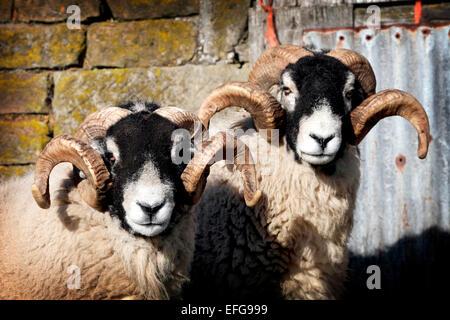 Portrait de deux cornes en basse-cour, moutons swaledale swaledale, Yorkshire, uk Banque D'Images
