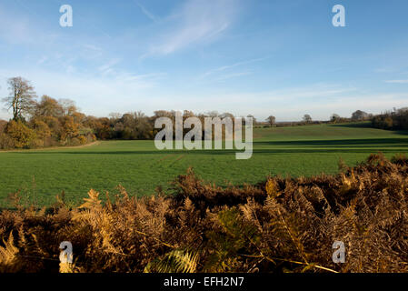 Un jeune de la récolte d'automne des céréales d'hiver par beau temps avec ciel bleu et sec bracken au premier plan. Banque D'Images
