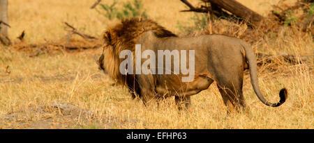 Lion d'Afrique est un magnifique animal qui est un symbole de puissance et de courage des familles de la noblesse Banque D'Images