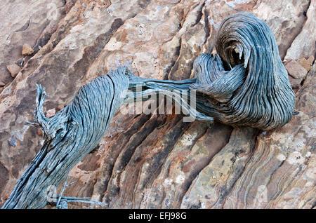 Twisted morts branche d'un arbre sur le genévrier de l'Utah, en pierre dans Arches National Park. Banque D'Images