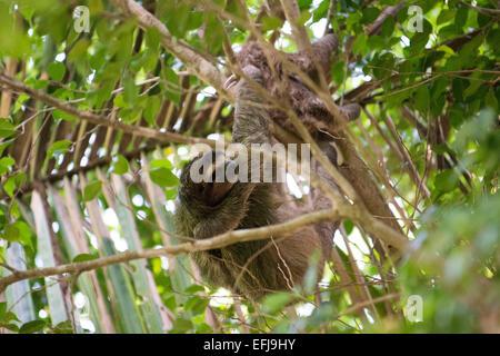 Ant-eater, Bastimentos Parc National, Bocas del Toro, PANAMA. Didactylus Cyclopes. Aussi connu comme le fourmilier Banque D'Images