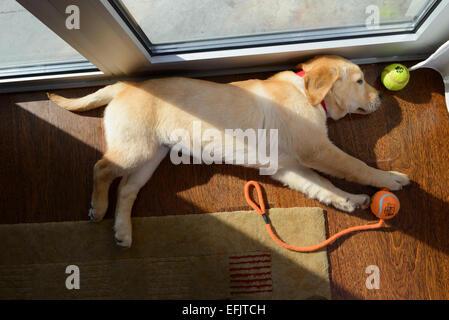 Golden retriever du Labrador jaune mignon chiot mix dormir sur le côté Banque D'Images
