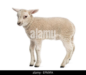 L'agneau (8 semaines) standing in front of white background Banque D'Images