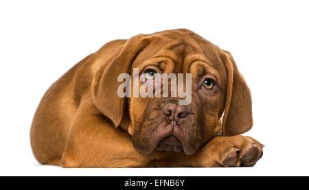 Dogue de Bordeaux puppy against white background Banque D'Images