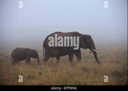 L'éléphant africain (Loxodonta africana), bull avec les jeunes, l'alimentation, dans le brouillard, Masai Mara, Banque D'Images