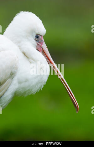 Spatule blanche Spatule blanche ou conjoint (Platalea leucorodia), jeune oiseau, captive, Thuringe, Allemagne Banque D'Images