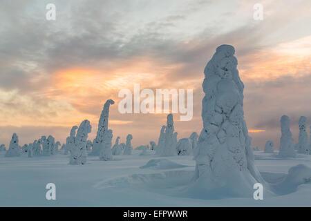 Arbres couverts de neige, Parc National de Riisitunturi, Finlande Banque D'Images