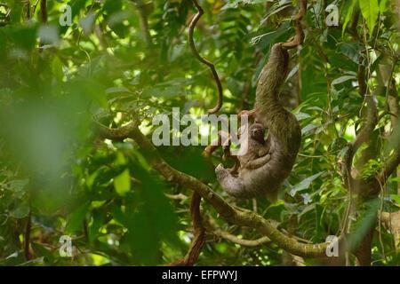 Brown-throated Sloth (Bradypus variegatus) avec les jeunes, s'accrochant à une liane dans la jungle, province de Banque D'Images