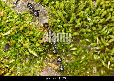 Jardin noir marche des fourmis. Nom scientifique: Lasius niger. Banque D'Images