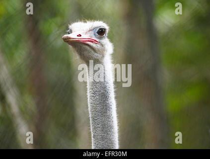 Autruche commune (Struthio camelus), Zoo Ave, province d'Alajuela, Costa Rica Banque D'Images