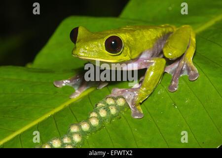 Un deltaplane (Agalychnis spurrelli rainette) siège par ses œufs non éclos dans une jungle en Equateur. Banque D'Images