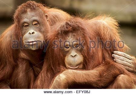L'orang-outan de Sumatra, le Zoo de Dublin, Irlande Banque D'Images