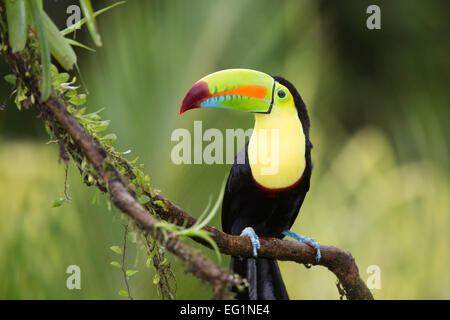 Keel-billed toucan (Ramphastos sulfuratus), Costa Rica Banque D'Images
