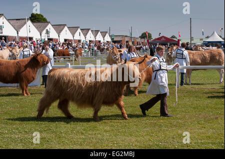 Sur une journée ensoleillée, Highland cattle en compétition dans un spectacle sont dirigés par les maîtres-chiens Banque D'Images