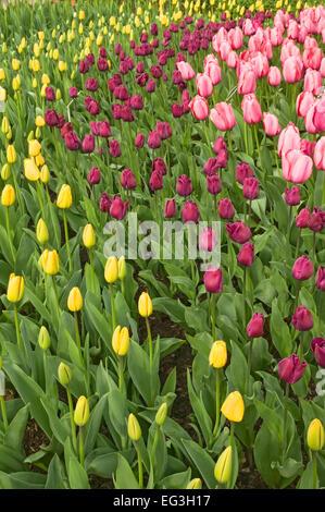 Jaune, violet et rose tulipes en lignes courbes à Roozengaarde à Mount Vernon, Washington, USA