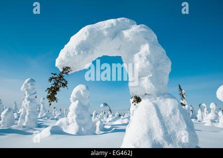 Arbre conifère courbé sous le poids de la neige Kuntivaara la Finlande. Photographie prise sur l'emplacement de Banque D'Images